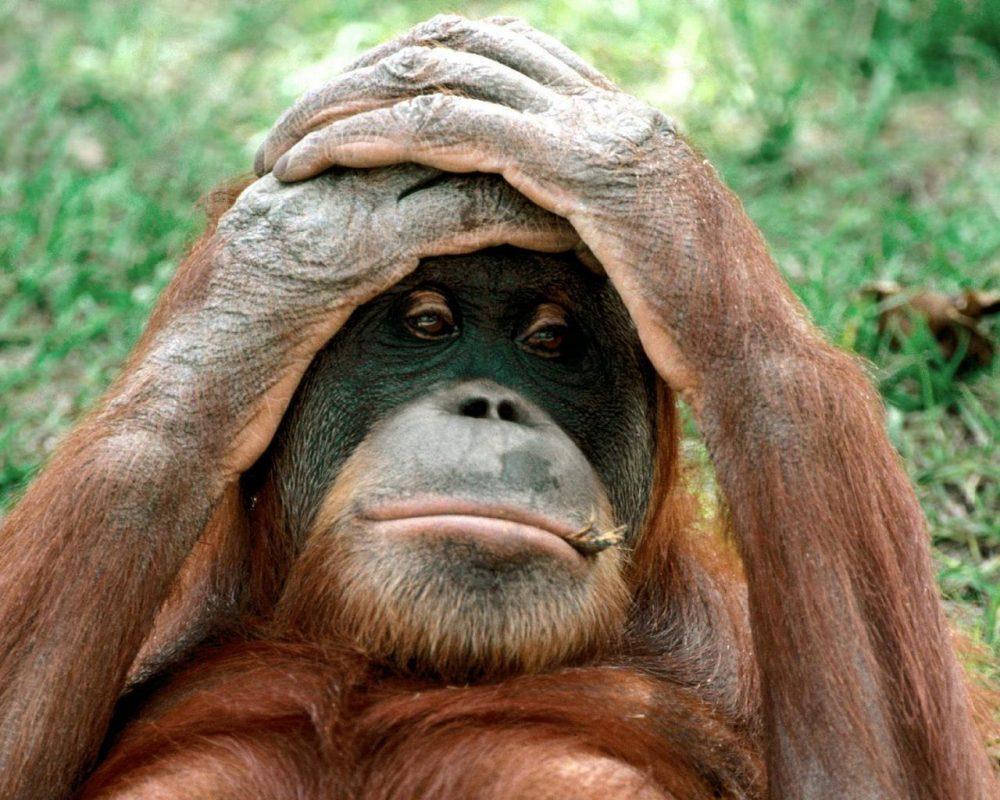 funny-gorilla-photo-1